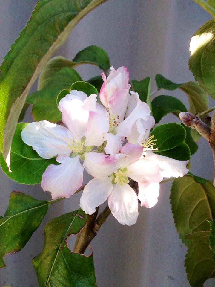 apple blossom www.sabrinahahn.com.au www.hortwithheart.com.au