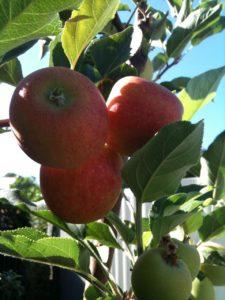 apples www.sabrinahahn.com.au wwwhortwithheart.com.au