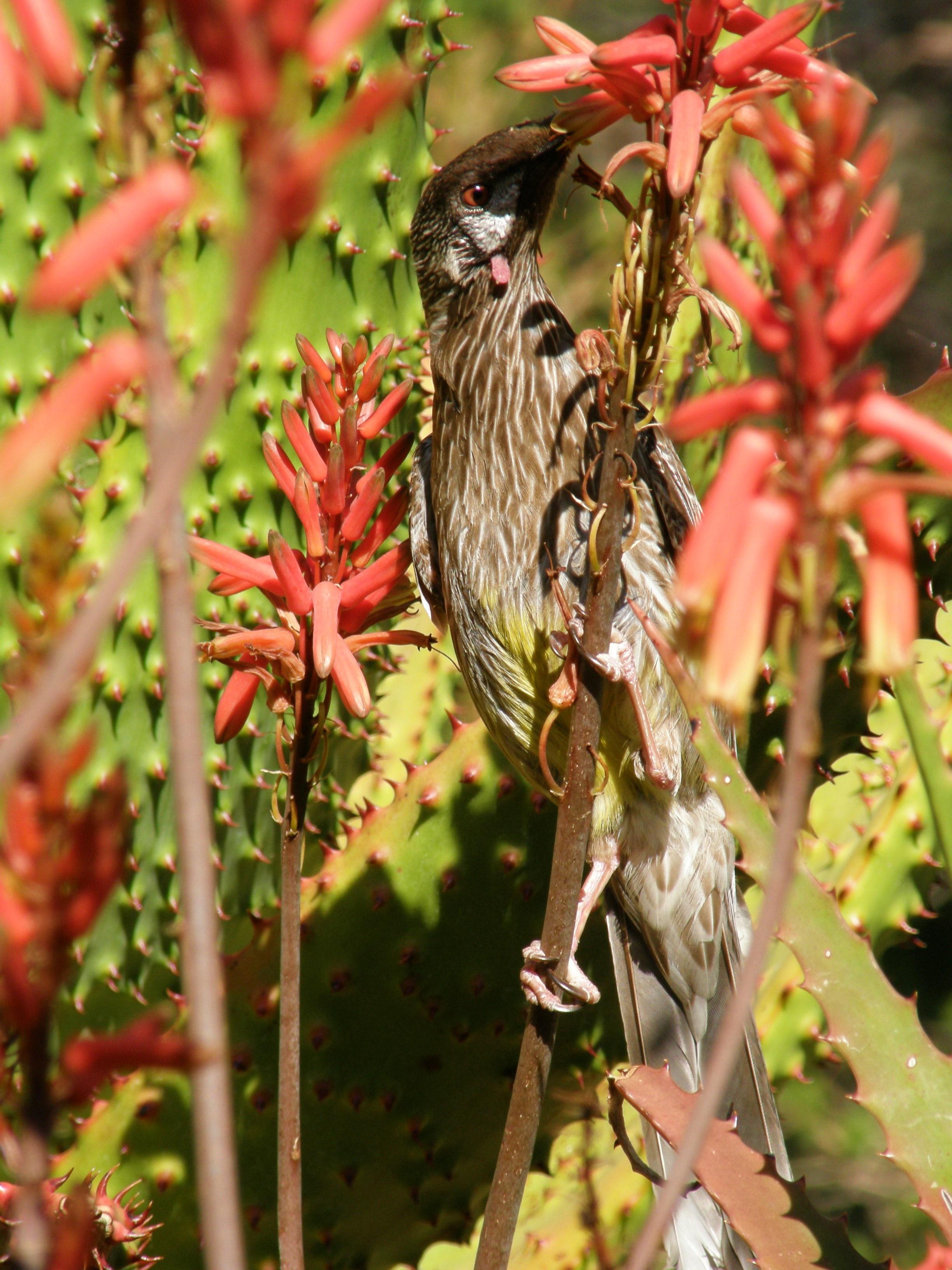 Wattle Bird www.sabrinahahn.com.au