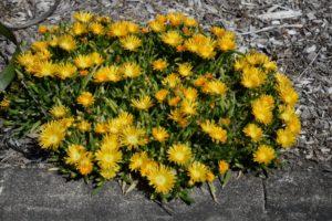 Disphyllum Sunburn www.sabrinahahn.com.au