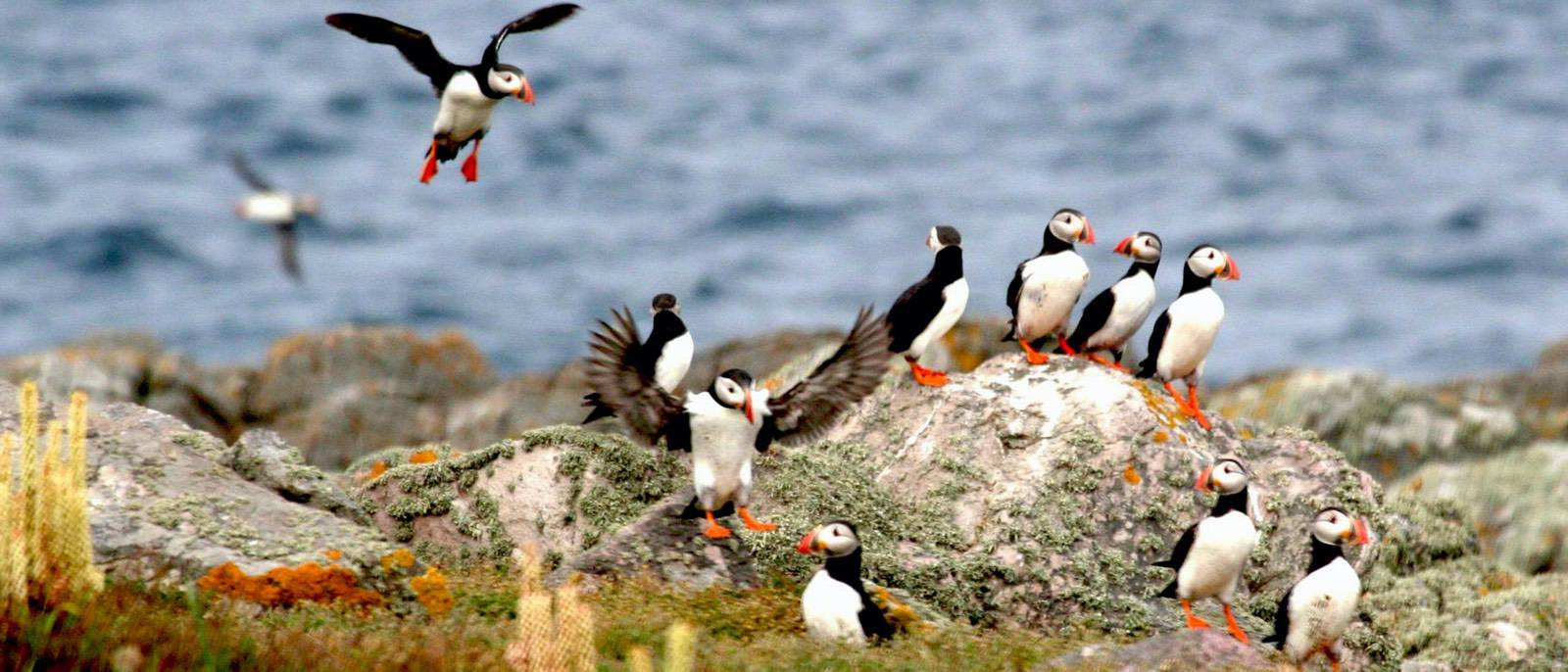 puffins_returning_to_burhou_in_larger_numbers-image-copyright-Alderney-Wildlife